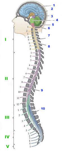 220px-Центральная_нервная_система-Central_nervous_system.jpg