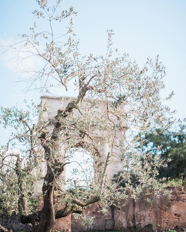 Somehow I missed the first day of spring, so here's a pretty photo of an olive tree. 🇮🇹 #annikaparks_studio #coloradoweddingphotographer #italy #romanforum #springtime #travelphotography #travelphotographer #boulderweddingphotographer