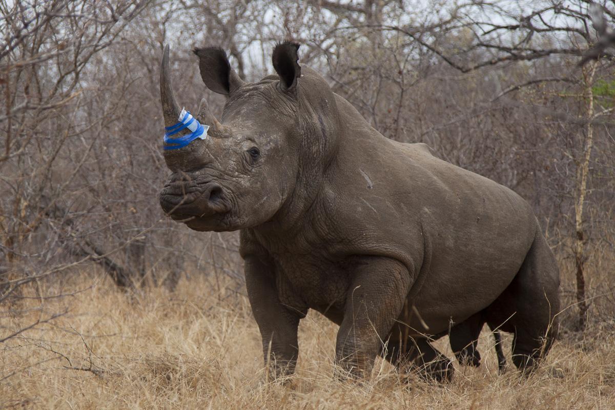 Rinoceronte Branco (Ceratotherium simum) Foto: Marcio Lisa / Green Planet