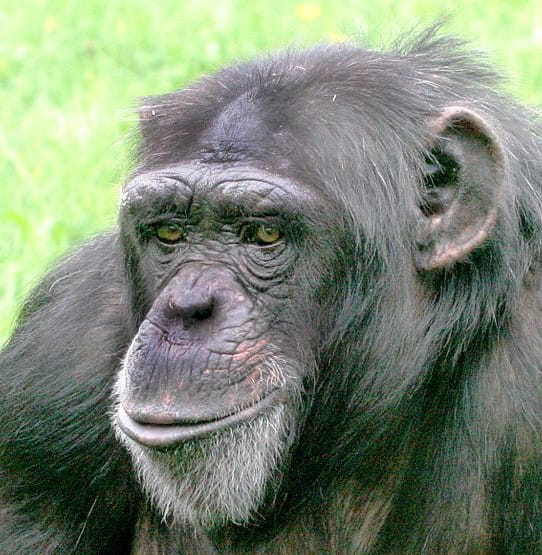 Female chimpanzee at Twycross Zoo UK, by William H. Calvin. Source: https://commons.wikimedia.org/