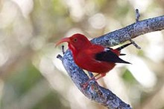 'I'iwi (Vestiaria coccinea), scarlet Hawaiian honeycreeper.  Source: https://en.wikipedia.org/wiki/