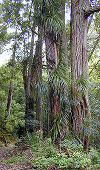 Freycinetia arborea--aerials roots attaching to tree. Source: https://en.wikipedia.org/