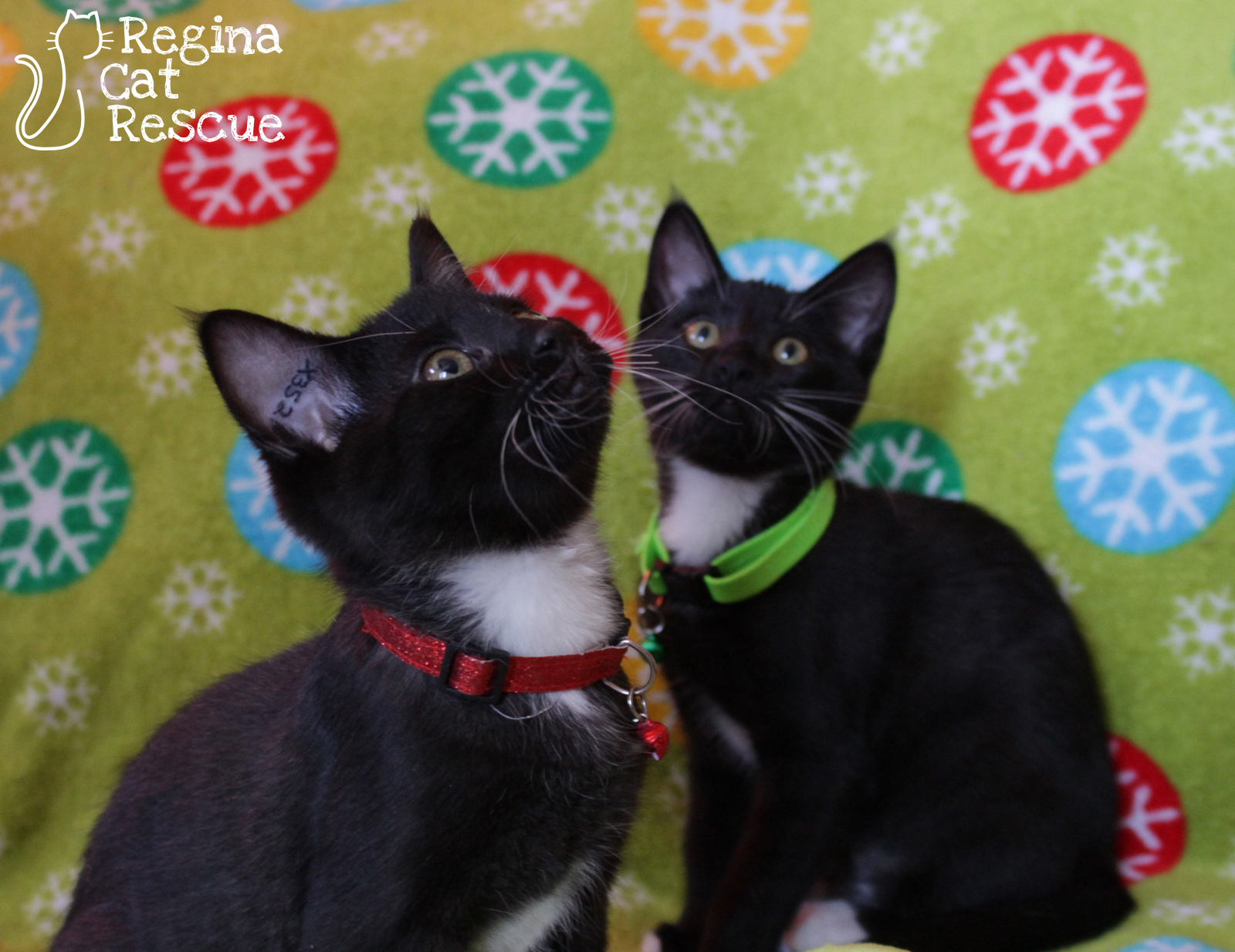 Jingle (red collar) and his sister Holly (green collar).