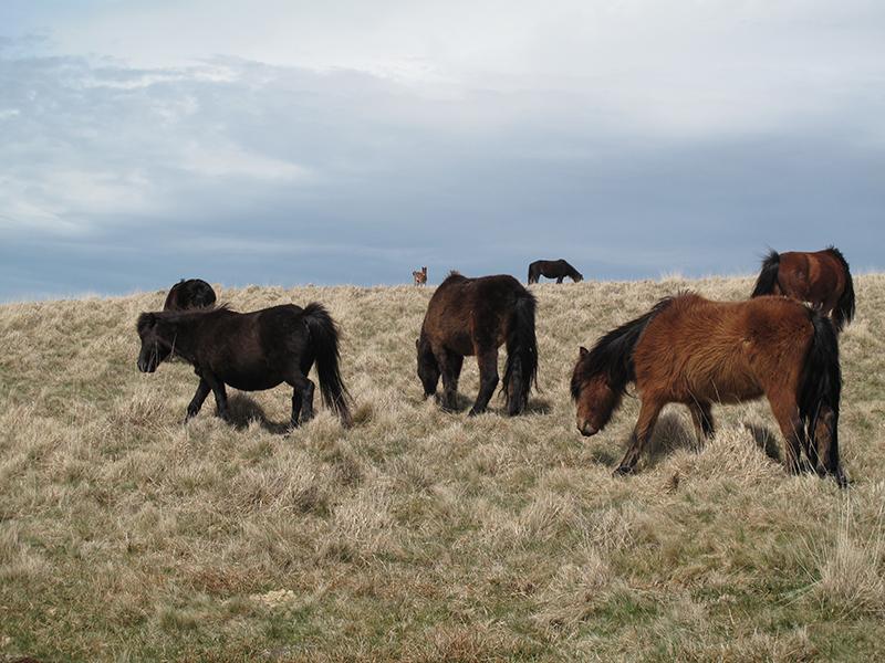 dartmoor ponies.jpg