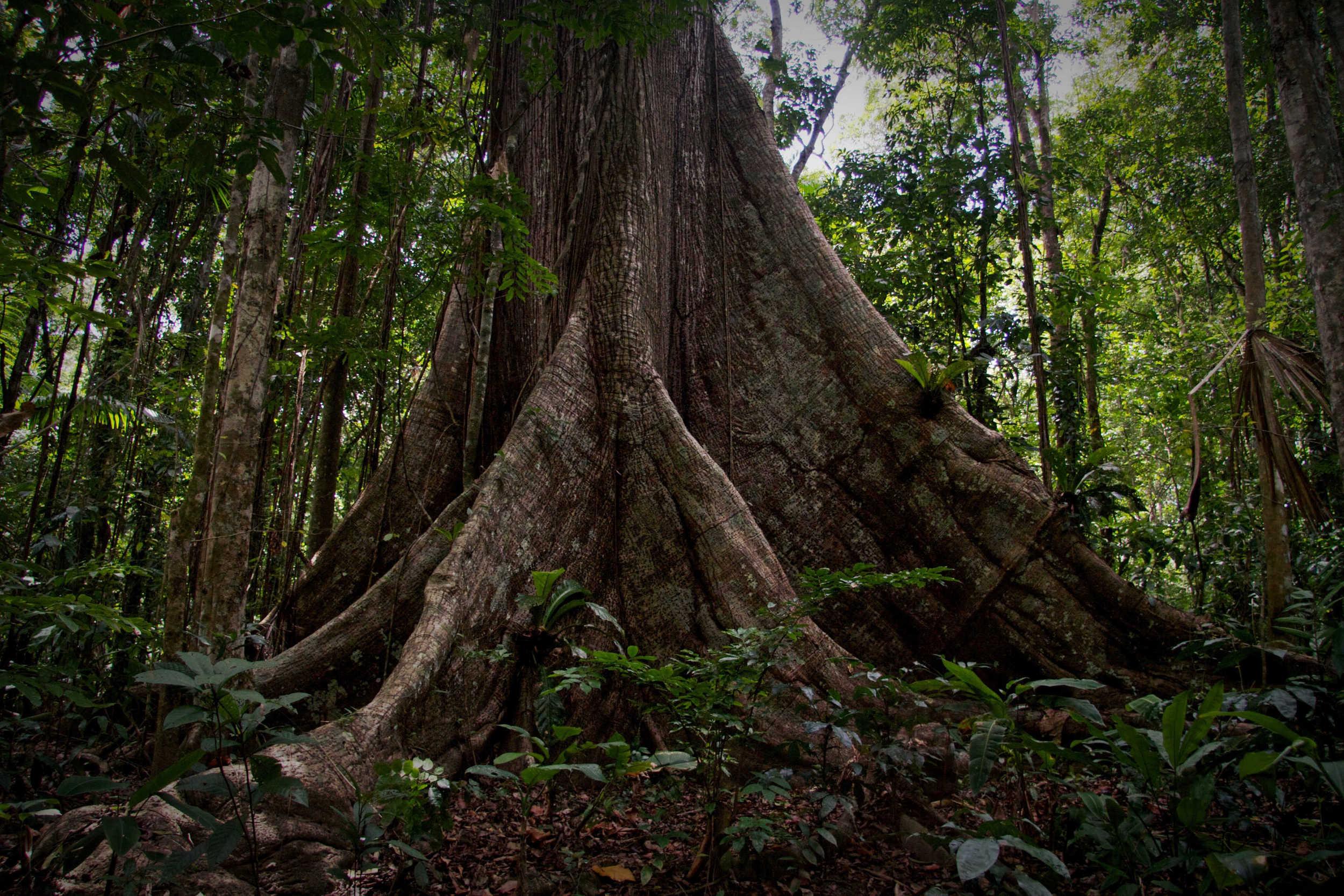 Moruga Kapok Tree