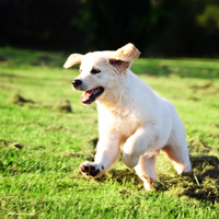 """""""My dog has hip dysplasia; what should I do?"""" If your dog has been diagnosed with hip dysplasia, talk to your veterinarian about the different treatment options that are available.  • If your young dog qualifies for a TPO, early surgical intervention can restore joint function and reduce degenerative damage to the joint.   • For more advanced cases, an FHO or surgery for an artificial hip may be needed.    • Talk to your veterinarian about which painkillers and anti-inflammatory medications are right for your pet.   • Ask about physical therapy, cold laser therapy, and acupuncture.   • Low-impact exercises, like swimming, will help your pet stay active without stressing the hip joint."""
