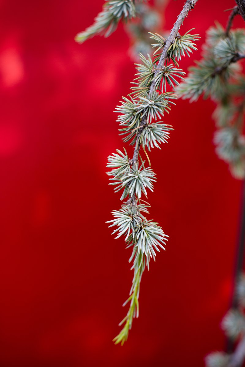asian-inspired-garden-weeping-blue-atlas-cedar-tree.jpg