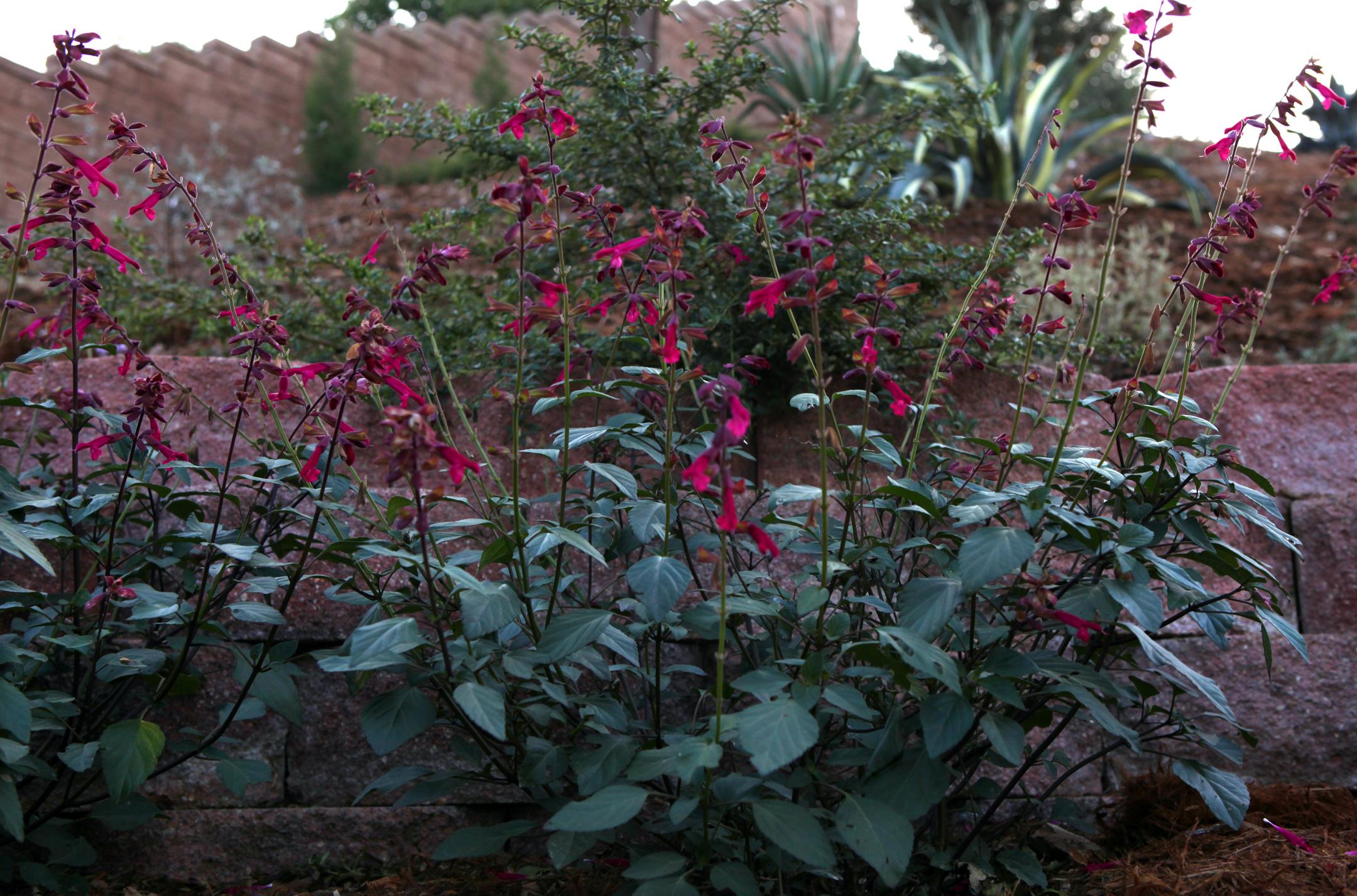 California-native-plant-Penstemon.jpg