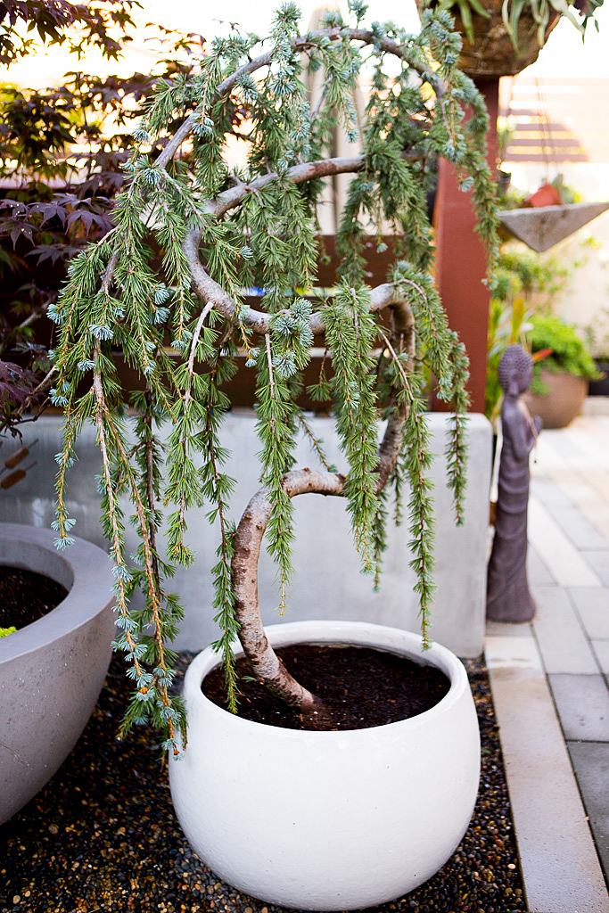 Weeping Blue Atlas Cedar container garden