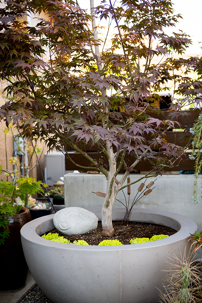 Japanese Maple container garden