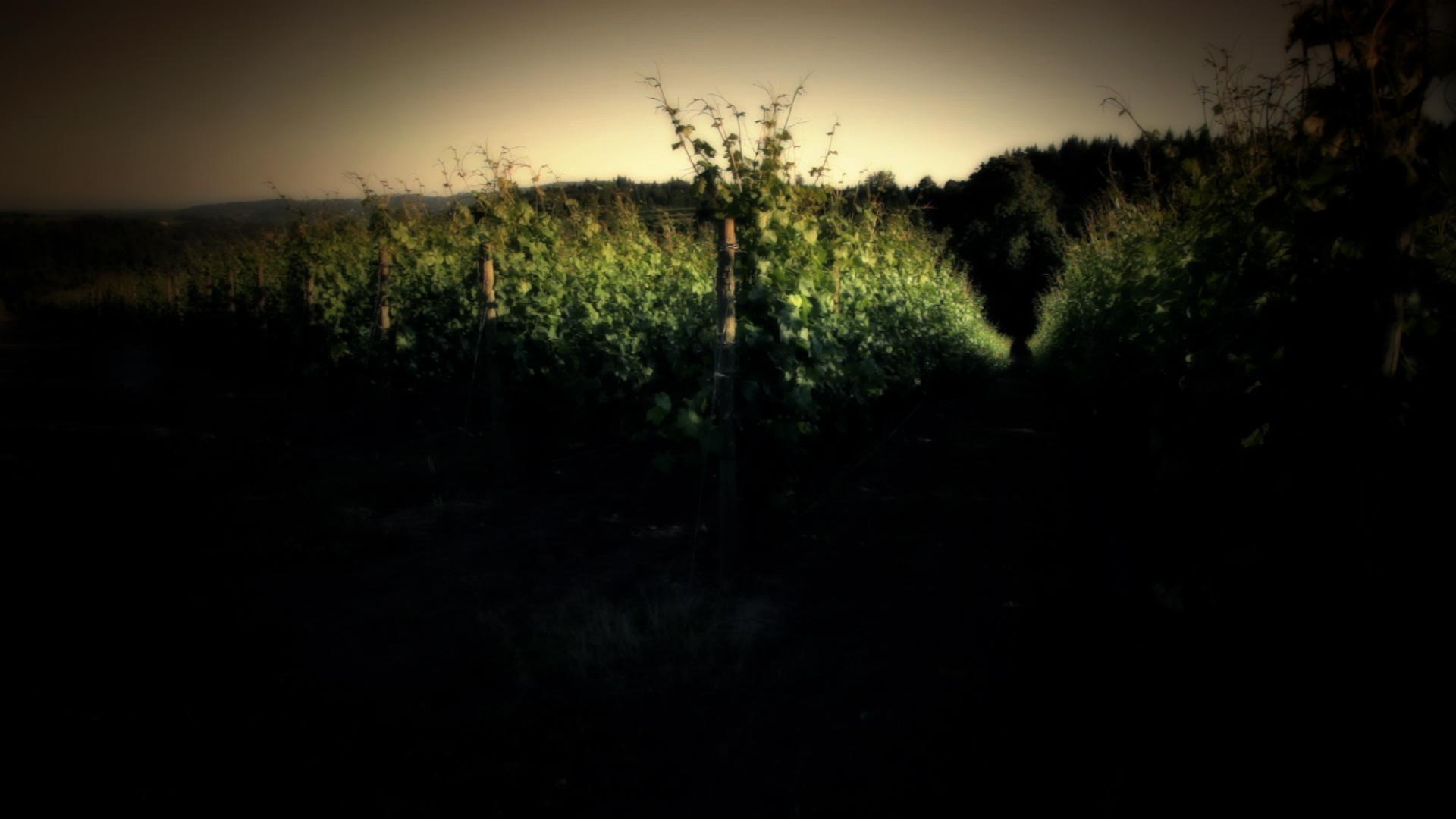 Adelsheim Vineyard.jpg