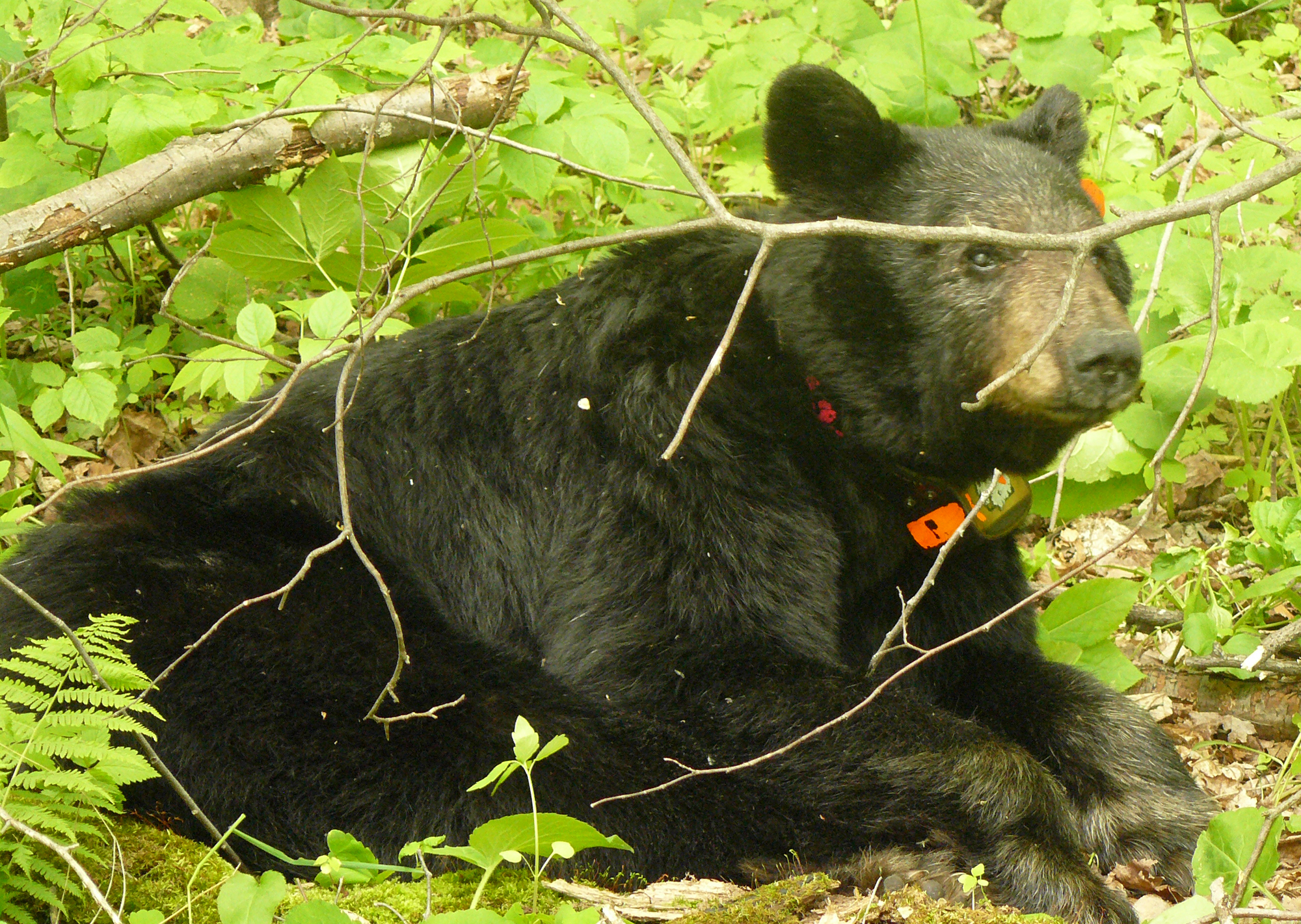 Our beloved Bear No. 56 hanging out in the woods. (pictured here wearing a radio collar, which the animal hardly notices once its on). Photo credit: MN DNR