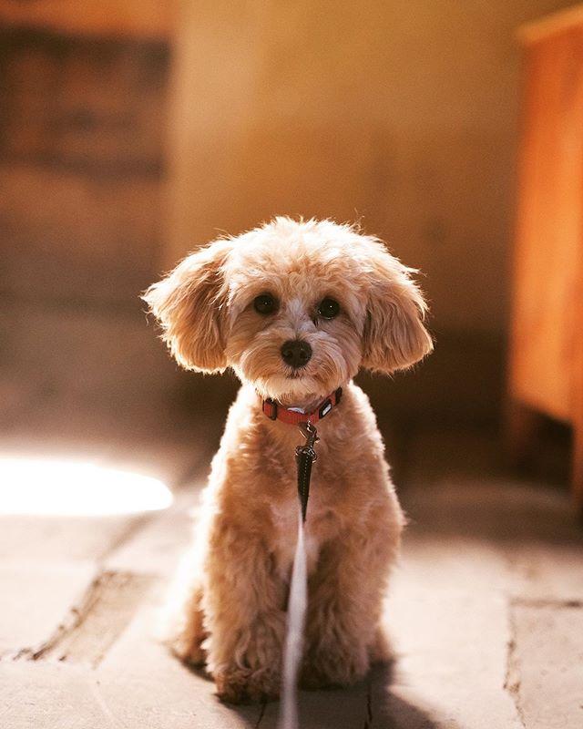 Hi! 👋🏽. . #maltipoopuppy #maltipoopuppies #maltipoo101 #maltipoo #moodles #newbornpuppy #newpuppy #multipoosofinstagram #puppiesofinstagram #toymaltipoo #toydog #pup #pupsofinstagram #mypuppyiscuterthanyours #mydogiscutest