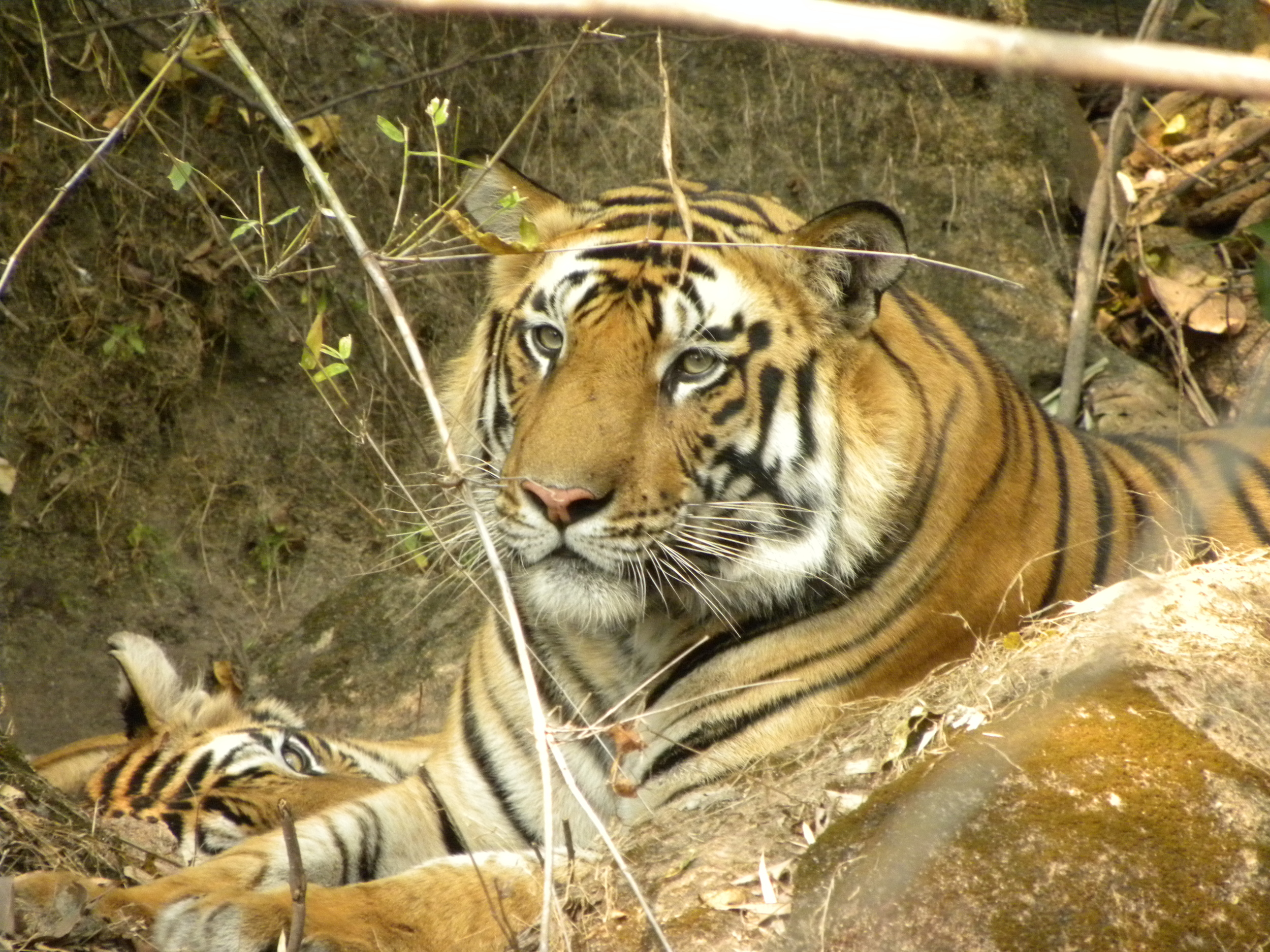 Tigers in trouble (photo by Priya Davidar).