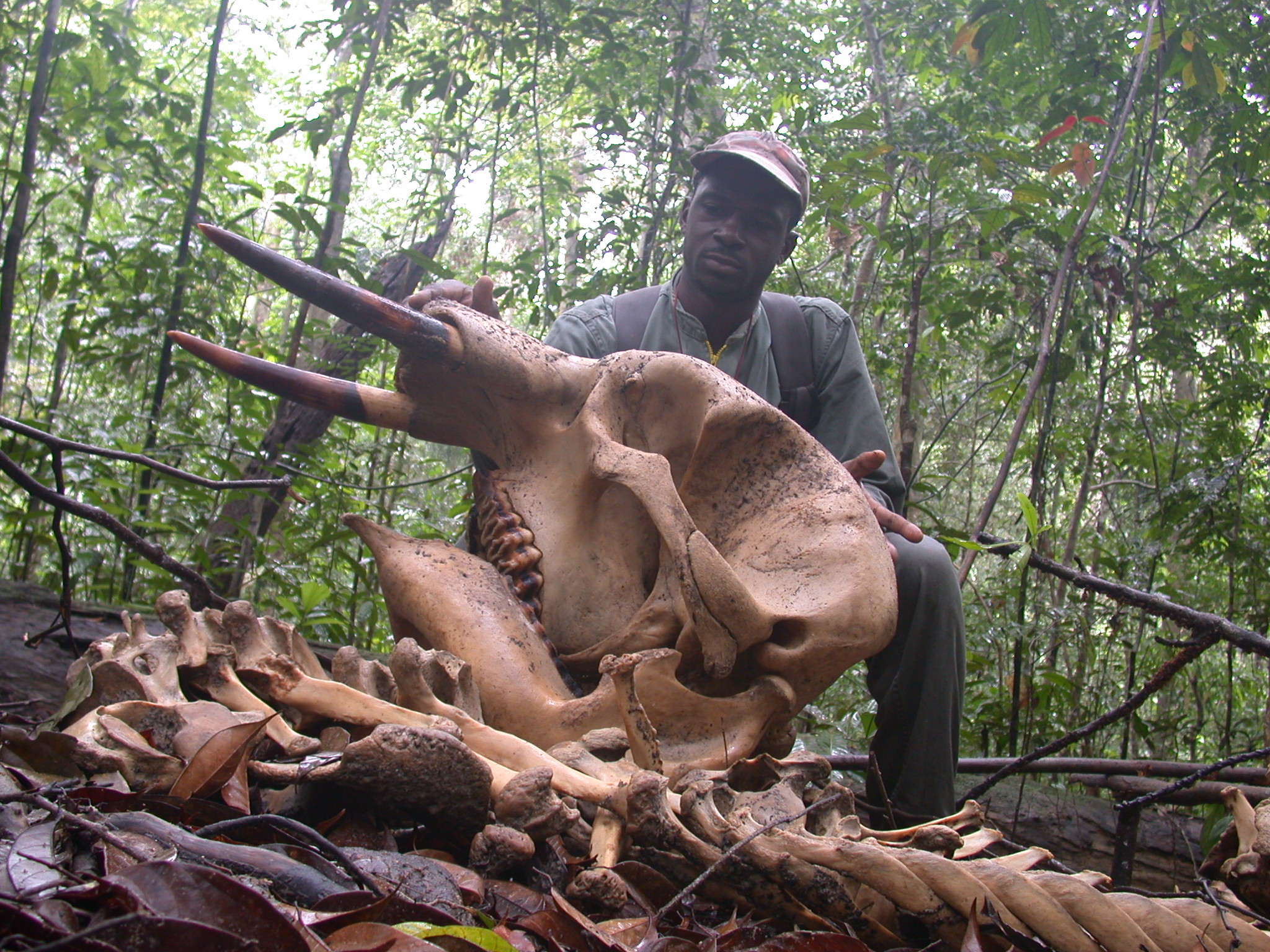 Time to stop the slaughter--forest elephant shot in Gabon (photo by Ralph Buij).