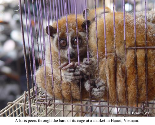 Loris-captive-Vietnam.jpg