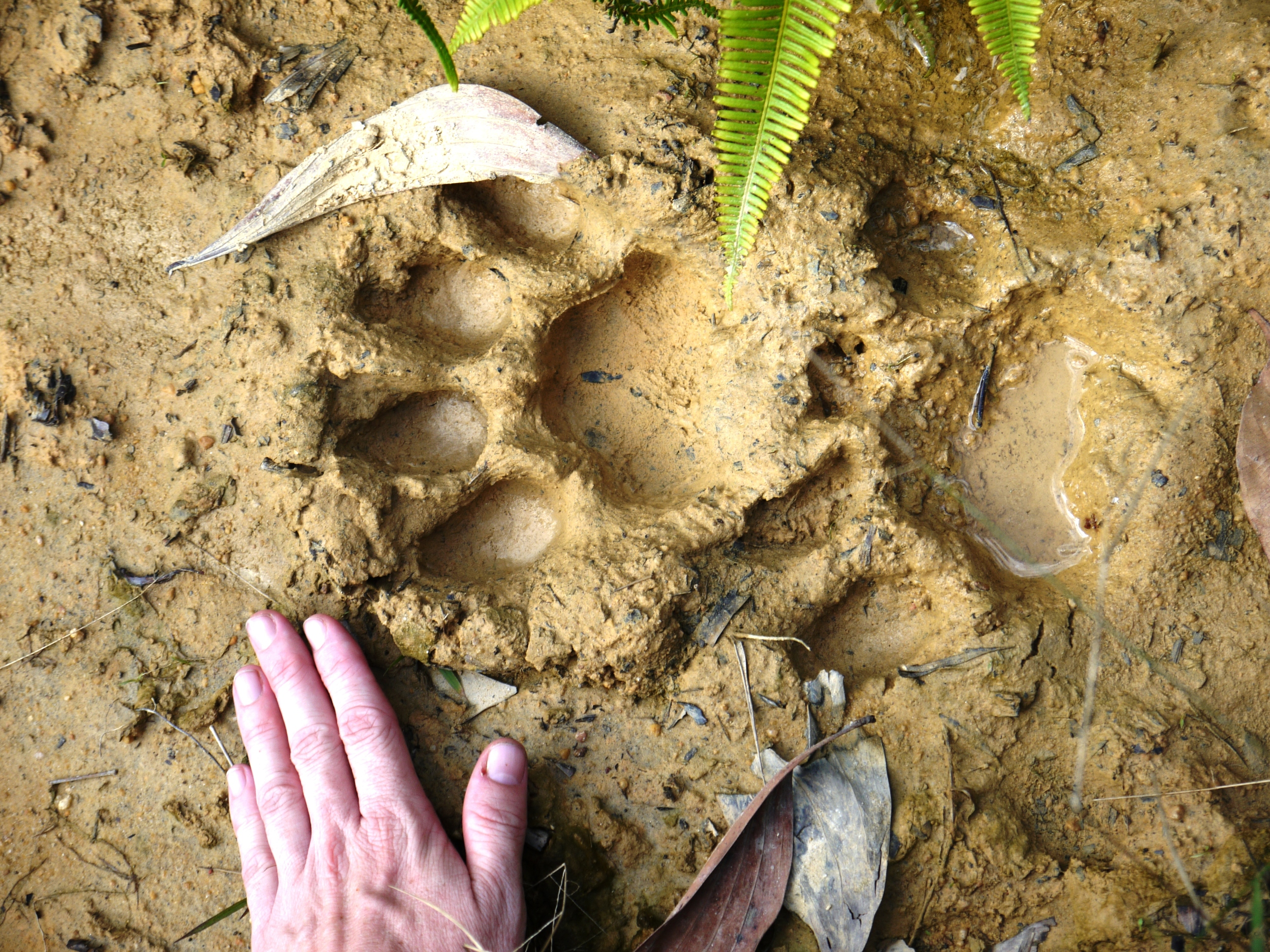 Still valuable...  tiger footprint in a regenerating forest in Sumatra (photo by William Laurance).