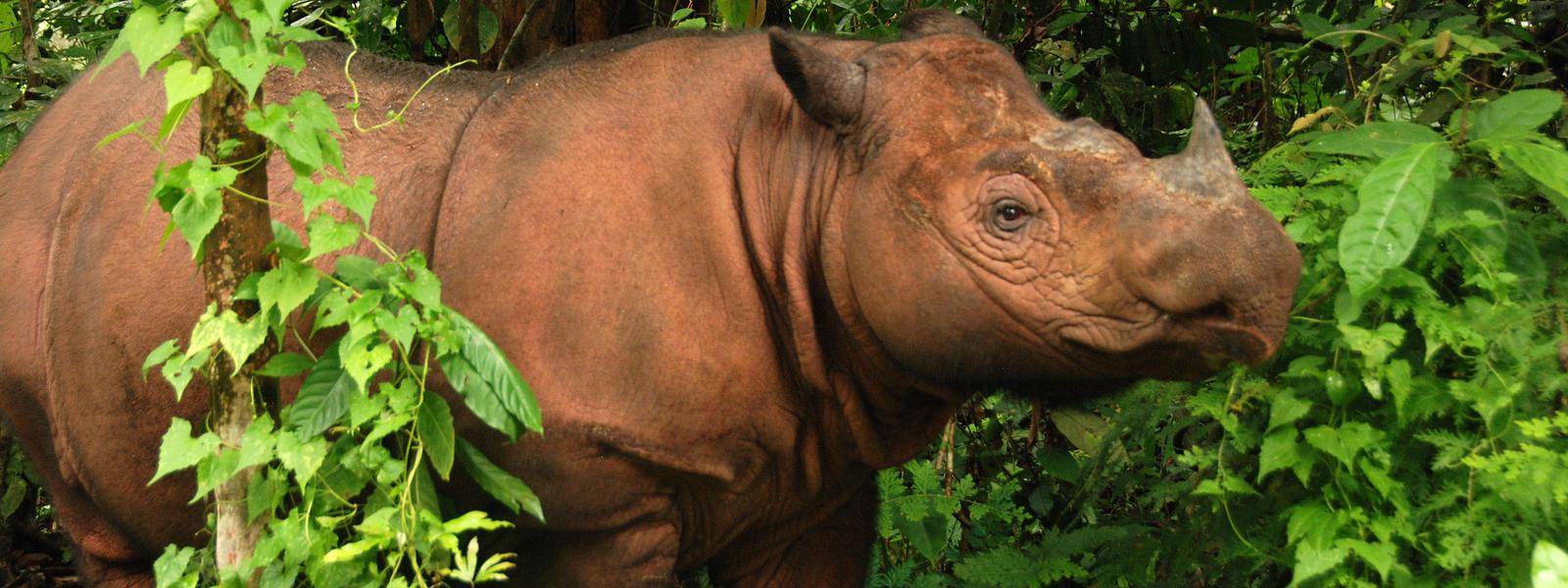 Struggling to hang on... (photo by Bill Konstant, International Rhino Foundation)