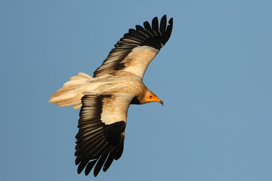 Egyptian vulture poisoned... Rachel Carson would be aghast.