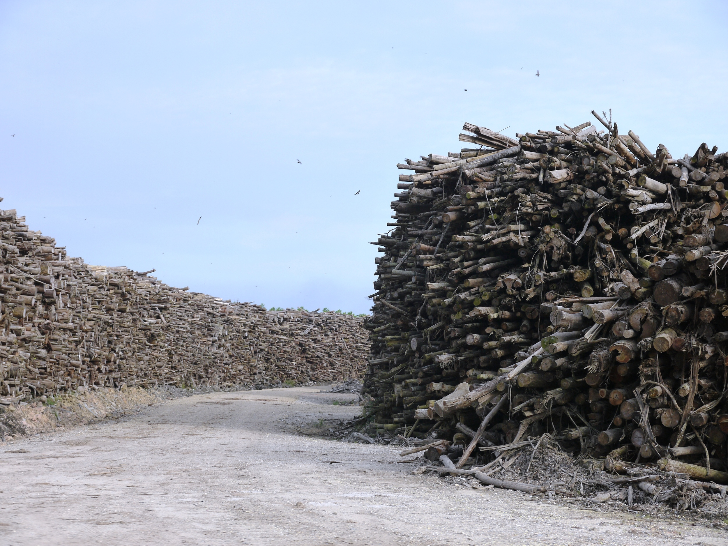 Predatory...   Rainforest timber stockpiled outside APRIL's Riau woodpulp plant (photo by William Laurance)