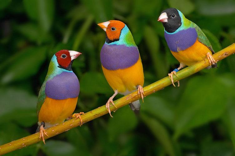 Bye-bye birdy? A kaleidoscope of Gouldian Finches.