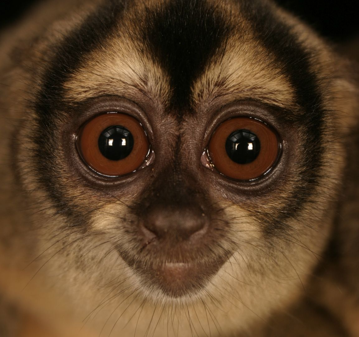 Eying trouble ahead... night monkey in Peru.