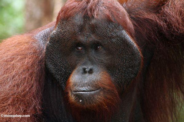 Trouble for orangutans and lots of other species  (from Mongabay)