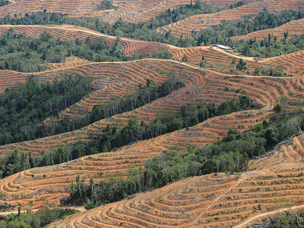 A tsunami of forest clearing for oil palm