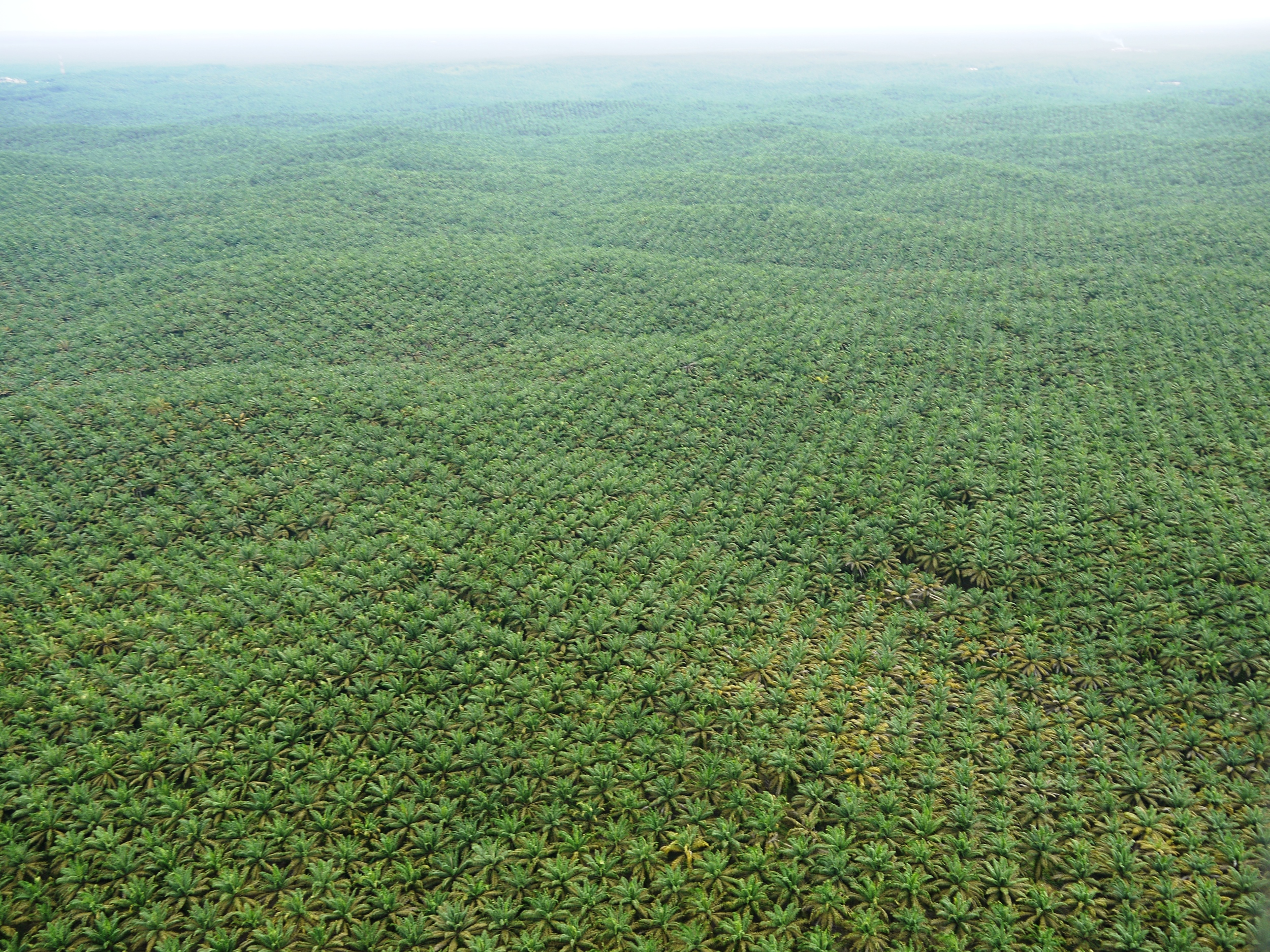 A tsunami of oil palm  (photo by William Laurance)