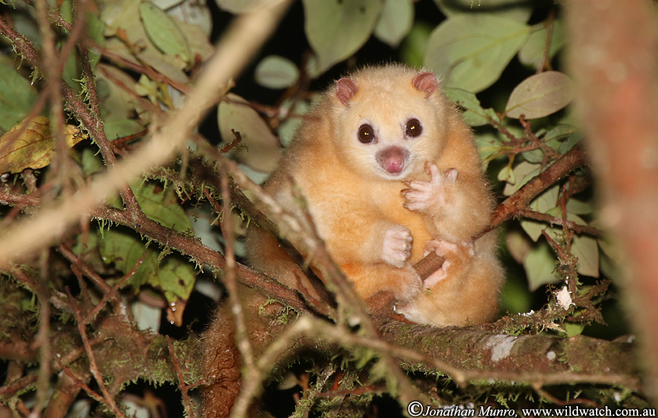 Iconic species in trouble... the white lemuroid possum, found only in the Queensland Wet Tropics, was driven to the edge of extinction by a 2005 heat wave  (photo (c) Jonathan Munro)