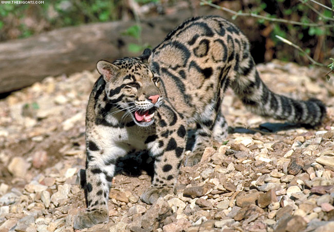 Perils ahead for leopards and lots of other Asian wildlife