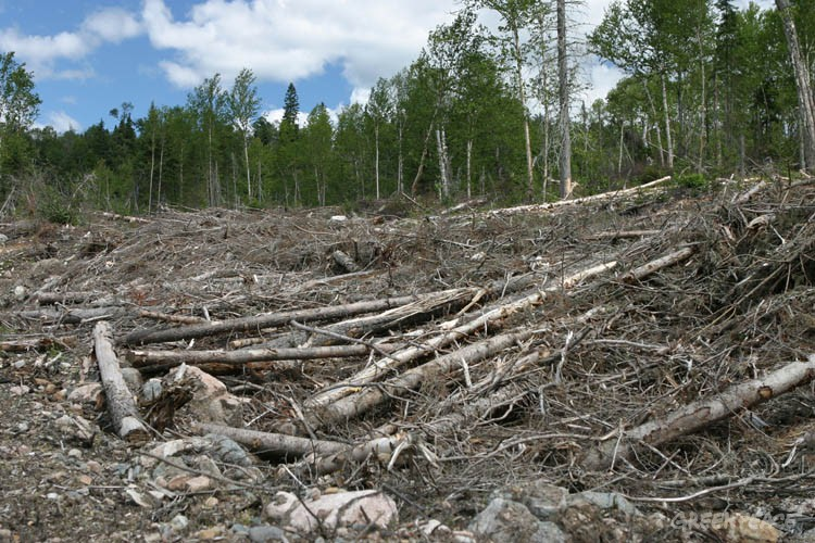 Clearcut logging in a Canadian boreal forest