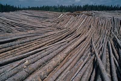 Massive stockpile of boreal timber