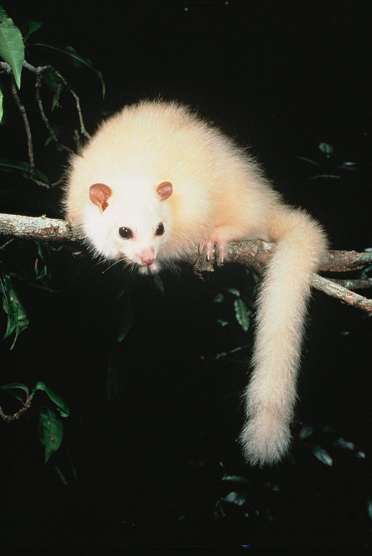Possum in peril... the white lemuroid ringtail  (photo (c) Michael Trenerry)