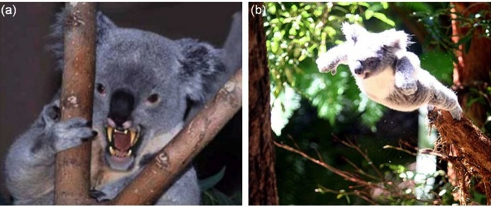 (a) An adult Drop Bear; (b) A Drop Bear attacking its prey.