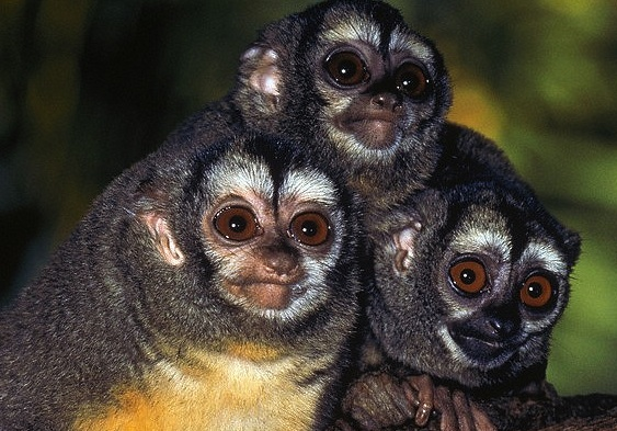 Imperiled primates in Peru