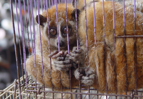 A caged loris ponders its fate