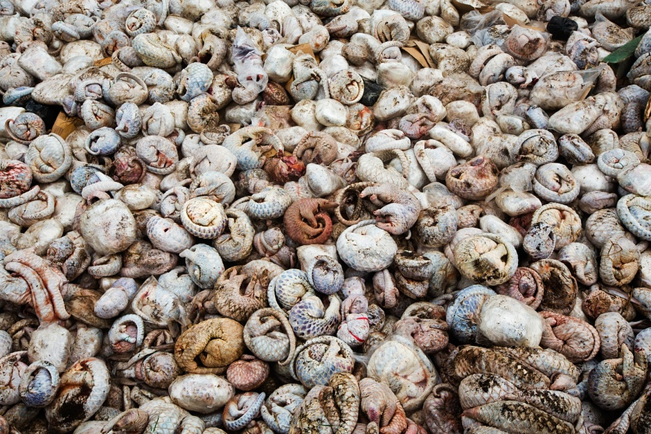 Thousands of dead pangolins seized in an illegal shipment in Indonesia