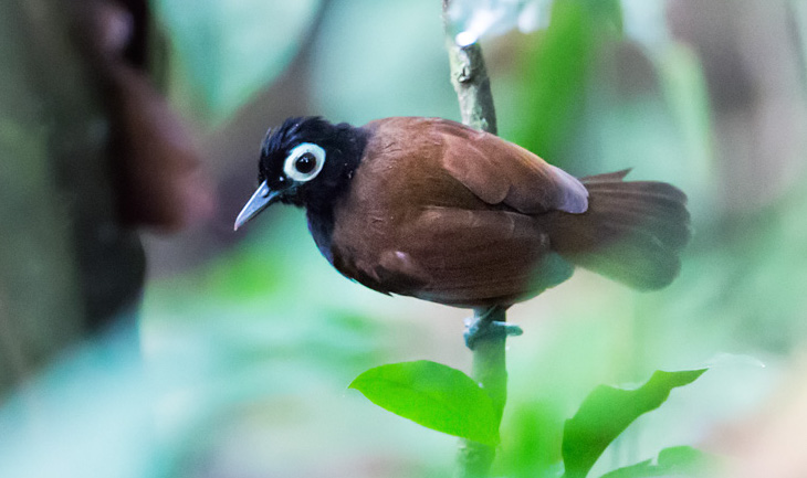 Bare-eyed antbird, an understory specialist in New World rainforests
