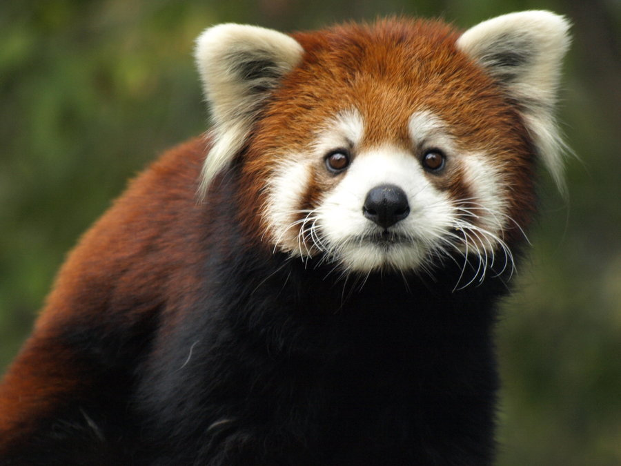 Red pandas are small and wary enough to survive in community-managed lands