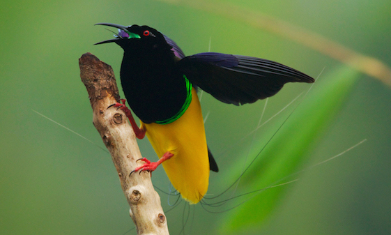 Popular species: spectacular Twelve-Wired Bird of Paradise from Indonesia
