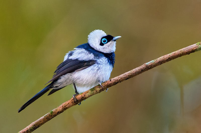 Lots of wildlife being harmed -- a Pied Monarch from Queensland.