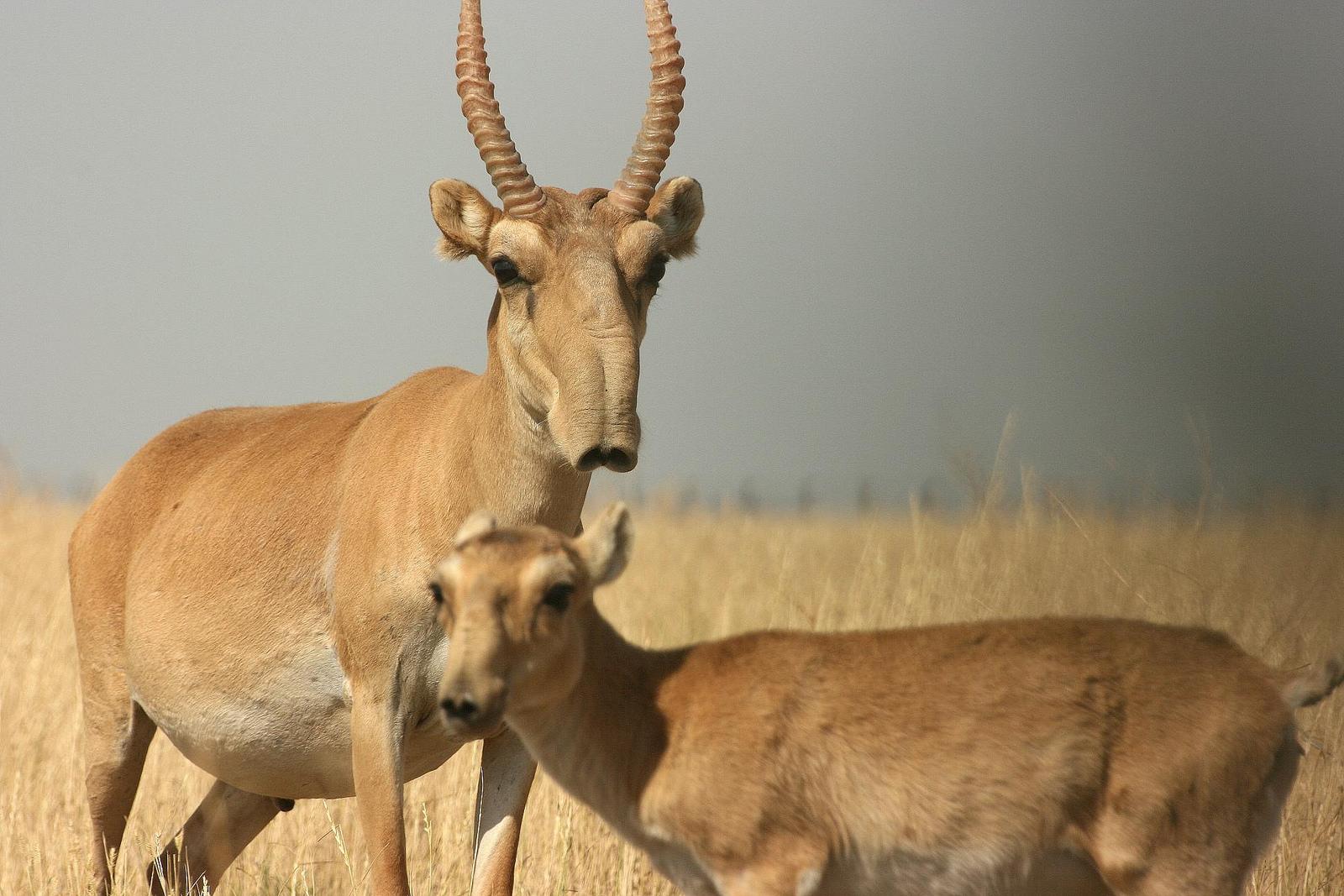 Saiga Antelope -- another victim of catastrophic disease?