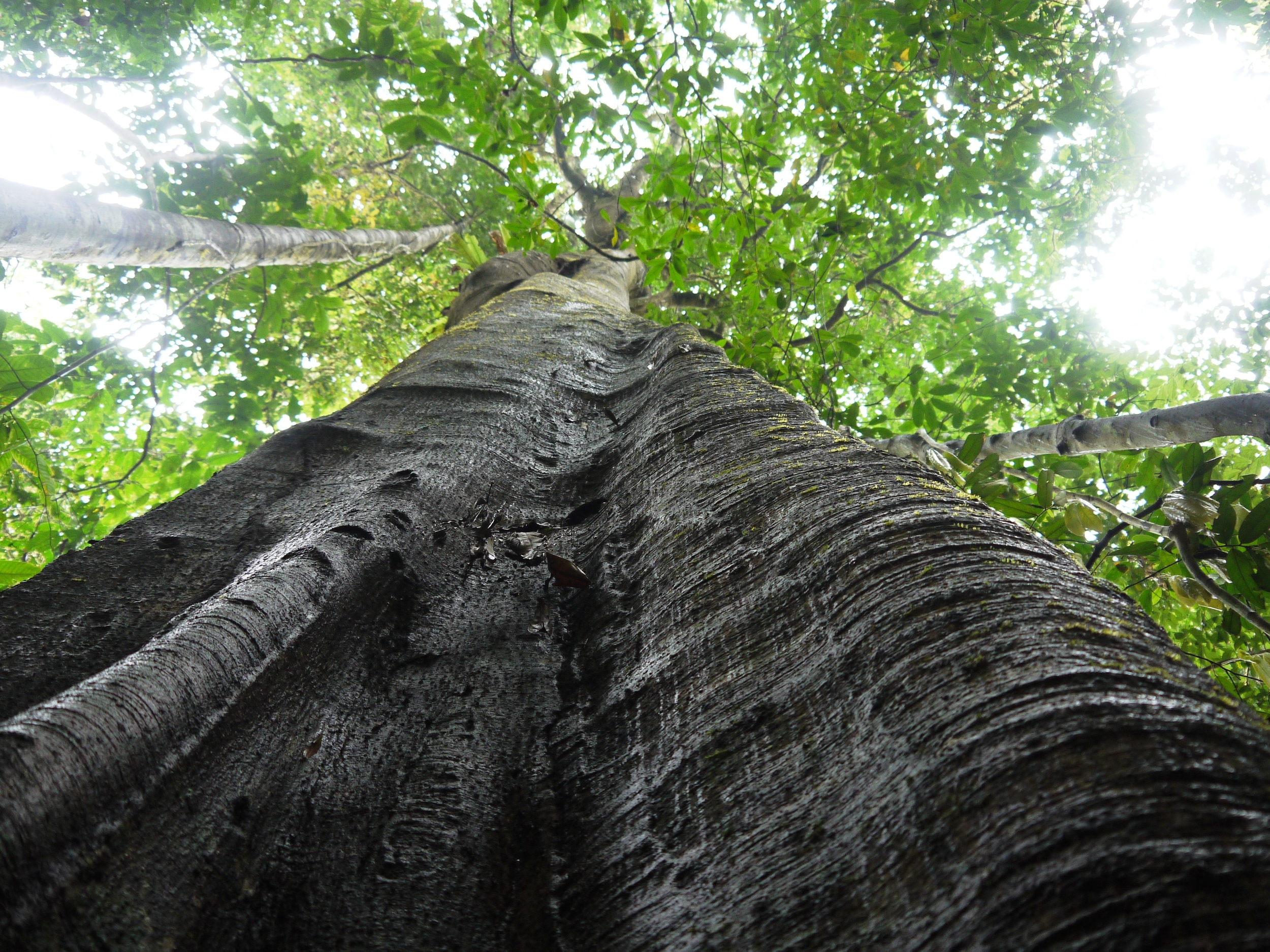 Many Amazon tree species are naturally rare, making them vulnerable to future land-use changes