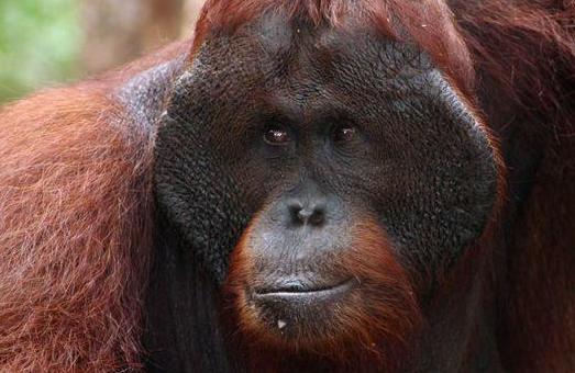Imperiled denizen of the Indonesian rainforest  (photo (c) Rhett Butler/Mongabay)