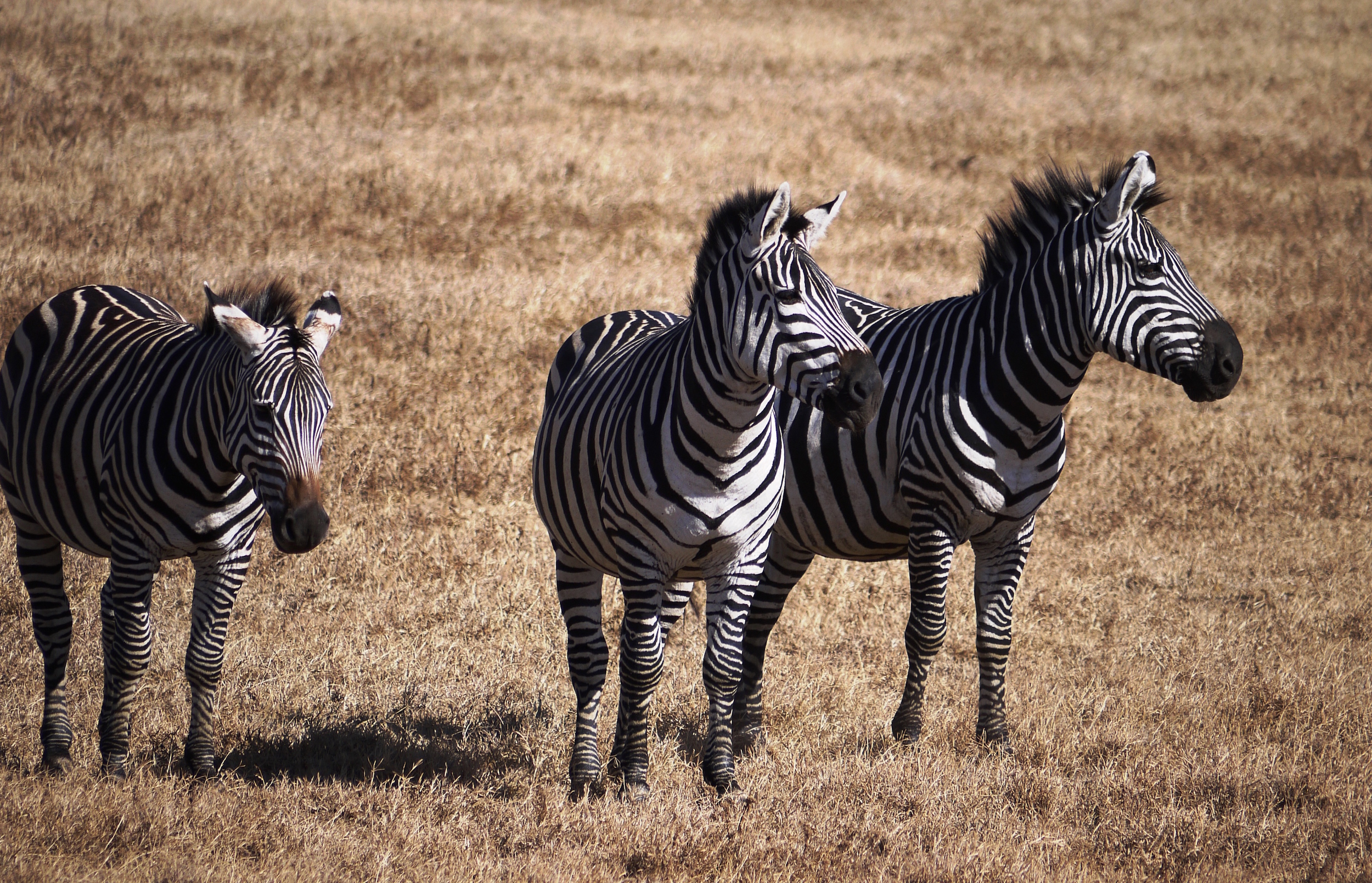 Zebras in the Serengeti -- where a major road project has been proposed  (photo by William Laurance)