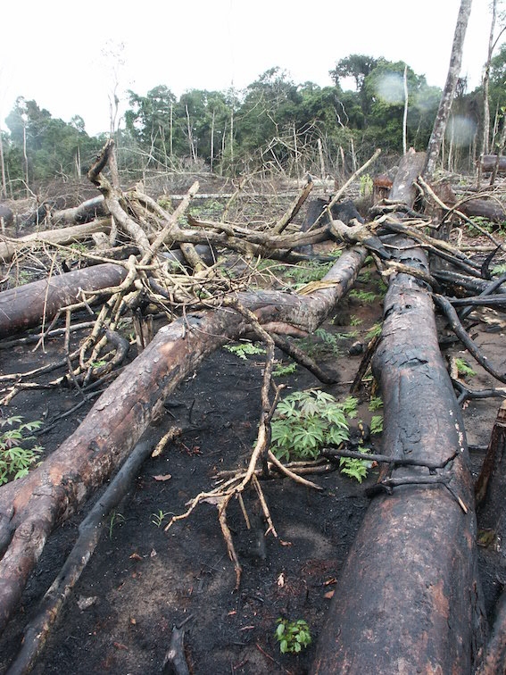 Forest destruction in the Congo Basin  (photo by William Laurance)