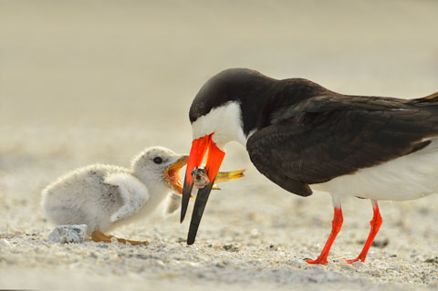 A Black Skimmer feeds its chick