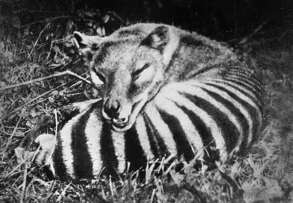 "The Thylacine or ""marsupial wolf"", killed off for preying on sheep."