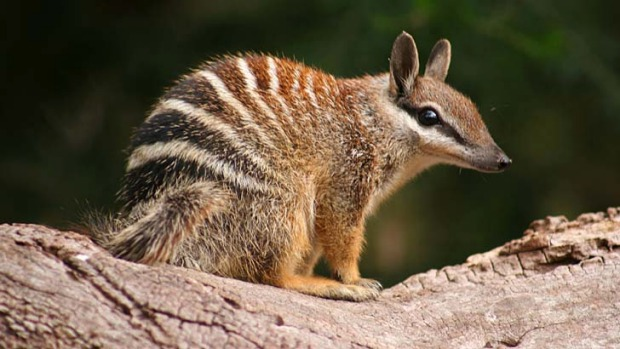 Lots of weird and wonderful critters, like this Numbat, but Australia seems more like an island than a continent